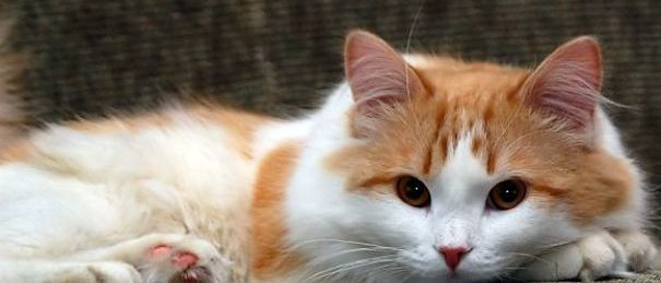 turkish-van-cat-adoption-poughkeepsie